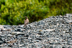 Horned Lark, Cape Pine (frank.king2014) Tags: hornedlark saintshotts newfoundlandandlabrador canada ca