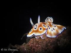 IMG_1660 Viga. (Ins Domnguez) Tags: sea underwater underwatermacro nature animals bali nudibranquio nudibranch goniobranchus
