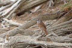 Song Sparrow, Salton Sea, Imperial, California (Terathopius) Tags: saltonsea imperialcounty california usa songsparrow melospizamelodiafallax melospizamelodia sonnybono