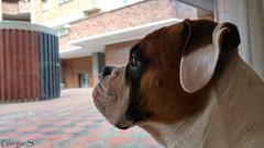 Homero 1 (Giorgio.) Tags: boxer lg g4 lgg4 colombia dog