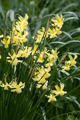 ckuchem-0590 (christine_kuchem) Tags: narzissen frhling frhjahr gelb blte frhjahrsblher februar frhblhend naturgarten garten naturnah natrlich