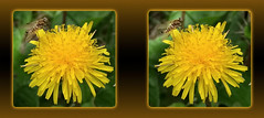 Male Ornate Snipe Fly on Dandelion 2 - Crosseye 3D (DarkOnus) Tags: male ornate snipe fly dandelion chrysopilus ornatus weed pennsylvania buckscounty huawei mate8 cell phone 3d stereogram stereography stereo darkonus closeup macro insect crossview crosseye