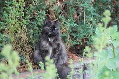 """Ich sehe dich!"" (Vasquezz) Tags: zarah katze cat sibirischekatze sibirische sibirisch siberiancat siberian"