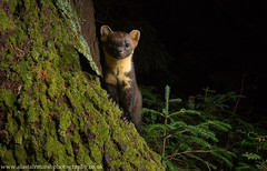 Pine Marten (Alastair Marsh Photography) Tags: pine pinemarten pinemartens pinemartenkit pinemartenkits marten pineforest forest woodland woods wood mammal mammals nocturnal nocturnalmammals nocturnalmammal wildlife wildlifeatnight animal animals animalsintheirlandscape night nightphotography nighttime fur cameratrap trailcamera wide wideangle wideanglewildlife scotland scottishwildlife scottishmammal scottishmammals scottishhighlands britishwildlife britishanimals britishanimal britishmammals britishmammal