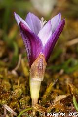 Romulea cf. bulbocodium (L.) Sebast. & Mauri (Lus Gaifm) Tags: romuleabulbocodium iridaceae pdeburro nosilha crocusleavedromulea violetromulea lusgaifm macro natureza nature planta plantae flor flower senhoradasneves serradarga