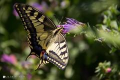 Borboleta-andorinha-do-Velho Mundo (Lus Pinto - Fotografia) Tags: natureza nature inseto insect borboleta butterfly