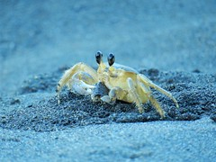 Ghost Crab (liamhargreaves) Tags: ghost crab ocypodinae rafinesque costa rica limon goshen tortuguero pacuare cranc fantasma beach sea mar playa platja cangrejo crabe crust central america