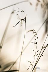 Se fondre dans l'environnement (photosenvrac) Tags: macro insecte agrion libellule nature sigma150 thierryduchamp bokeh
