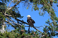 Bald Eagle (careth@2012) Tags: eagle baldeagle bird nature feathers beak