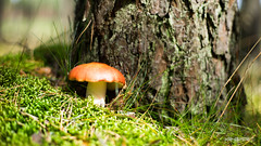 Mushroom (Krysper) Tags: mushroom toadstool tree blur texture moss grass contrast colorful fullcolor krysper forest undergrowth poland