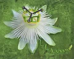 Summer Passion (njk1951) Tags: passionflower passiflora summer blossom bloom passionvine tendril snowqueen closeup texture stilllife summerbloom vine green droplets