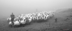 Jonen artaldea (Jabi Artaraz) Tags: jabiartaraz jartaraz zb euskoflickr rebao pastor perro artaldea txakurra artzaina lainoa niebla bruma montaa gorbea aldamin