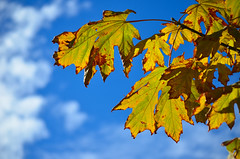 In the best light (James_D_Images) Tags: fall fallfoliage fallleaves changing seasons autumn leaves foliage bigleaf maple acer macrophyllum green brown blue sky bright blaine washingtonstate semiahmoo clouds