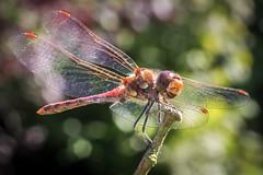 Looking Happy (gresalex) Tags: libelle flgel insekt gesicht lcheln tier natur zweig grn