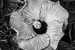 Ghostly Hibiscus (brev99) Tags: hibiscus flower garden outdoor sigma185028hsm d7100 tripod nikviveza perfecteffects10 ononesoftware topazclarity dxofilmpack5 nikdfine blackandwhite f22