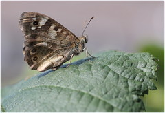 Speckled Wood (jenny*jones) Tags: 3821 speckledwood parageaegeria nymphalidae brushfootedbutterfly lepidoptera westyorkshire gtbritain sept2016 butterfly naturephotography naturalworld brambleleaf canon macro canon100mm28