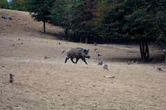 Boar (sir_knight_thomas) Tags: boar nature