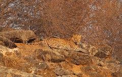 Leopard (abhishekprasad985) Tags: leopard wildlife dangerous carnivorous animals sariska national park nature photography rajasthan india canon canondslr canon700d