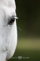 shelleypaulson_2009-415 (Shelley Paulson) Tags: equine eye fleabitten halter horse white