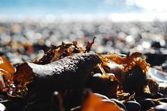 Seaweed (laurelpattee) Tags: newport texture beach yaquina cobble seaweed algae bumpy ocean sea shore water