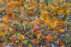 Flora Plenteous 72 (pni) Tags: flower plant multiexposure multipleexposure tripleexposure musiikkitalo musikhuset musiccentre helsingfors finland suomi pekkanikrus skrubu pni