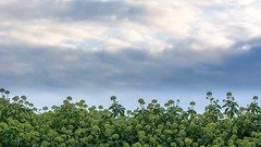 Ivy (Hedera helix) flowers in hedge and sky (Ian Redding) Tags: araliaceae british european hederahelix nature uk wildlife autumn blue climber climbing clouds evergreen flora flowering flowers green grey hedge hedgerow ivy leaves masses shoot shrub sky skyscape summer weather yellow