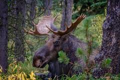 Alce (robertopastor) Tags: amrica canada canadianrockiesmountain canad fuji malignelake montaasrocosas robertopastor viaje xt1 xf100400 alce alberta