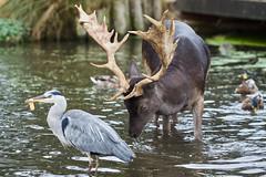 The Ducks Are Getting Bigger!! (paulinuk99999 - just no time :() Tags: paulinuk99999 bushy park grey heron fallow deer ducks throwingbreadfortheducks bullies sal70400g