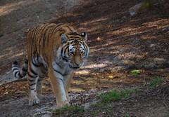 Tiger 2 (The original SimonB) Tags: copenhagen denmark zoo september 2016 animals olympus e420