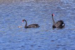 Swan family still doing okay (Luke6876) Tags: blackswan swan bird animal wildlife australianwildlife