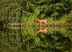 Fawn at Dawn (Sarah Hina) Tags: fawn deer lakesnowden dawn morning drink water reflection