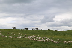 sheep in mixed grazing cropping landsscape_8393 (gervo1865_2 - LJ Gervasoni) Tags: country landscape pyrenees hwy between carisbrook newstead canola farming paddocks victoria australia 2016