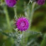 Thistle Flower on the Isle thumbnail