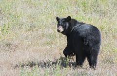 Black Bear (Wes Aslin) Tags: tulameen otterlake canada britishcolumbia blackbear