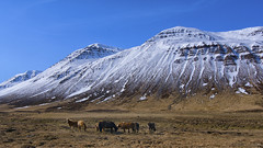 the smell of almost freedom ;) (lunaryuna) Tags: iceland northiceland landscape mountainrange snowcappedmountains textures spring season seasonalchange pastures icelandichorses roamingalmostfreely beauty animals horses weather light lightmood lunaryuna ngc