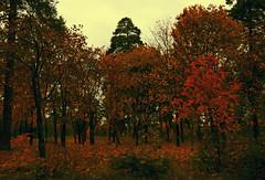 Autumn (Odarochka_life) Tags: photographernaturebeautifulcanonoutdoorsummerphotographysunlifeviewprofessionalniceweathercolorfulcameraearthflickrworldnewlovefollowigerssmilebeautifulmelikeswaghappyfashionamazingprettyfamilya fallautumnleavesleaffoliagecolorfulorangered street landscape weather mood soul dream walking fire forest tree ngc