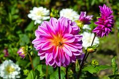 Pink Dahlia (Claire-Louise Beyga) Tags: taken victorian walled garden croxteth park dahlia pink summer august flower close up macro
