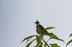 red-whiskered bulbul (arcibald) Tags: redwhiskeredbulbul bulbul vientiane laos laopdr