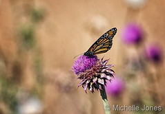 October 15, 2016 - A butterfly on a thistle. (Michelle Jones)