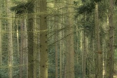 Tall trees (jillyspoon) Tags: trees wood bark autumn forest parallel vertical branches greens canon canon70d eos