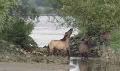 wild konik horses (daaynos) Tags: horses konikhorses konik oudemaas river riverside hoeksewaard dehoekschewaard wild water trees animals