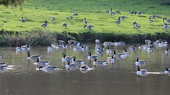 Canada Gooses (Wildlife Terry) Tags: fieldsfarm claylane elton sandbach wybunbury anglers pools canadageese branta canadensis cheshirewildlifenatureamateurphotography autumn2016