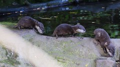 Baby Otters (gary.tootle17) Tags: adorable cute 18g 85mm d3300 nikon dayout following playful babyotters otters