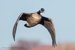 Canada Goose (Kevin James54) Tags: canadagoose lakegalena nikond500 peacevalleypark tamron150600mm animals avian bird brantacanadensis goose kevingianniniphotocom