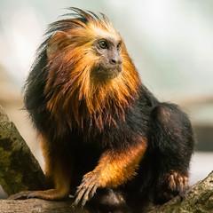 DSC_0142-1 (craigchaddock) Tags: zoe goldenheadedliontamarin leontopithecuschrysomelas parkeraviary sandiegozoo endangeredspecies newworldmonkey monkey tamarin goldenheadedtamarin 6400 iso6400 goldenmarmoset goldenliontamarin