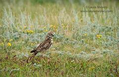 Burrowing Owl (Laura-Meyers) Tags: blackhills southdakota burrowingowl custerstatepark