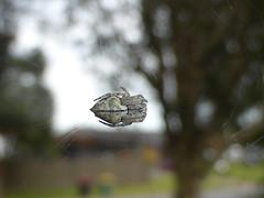 Suspended on Silk (tessab101) Tags: orb spider weaver werrington nsw australia arachnid arachtober