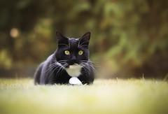 Molly (Katarina Drezga) Tags: cats cat petphotography pets nikond3100 nikkor55300mm4556gvr animals felines autumn