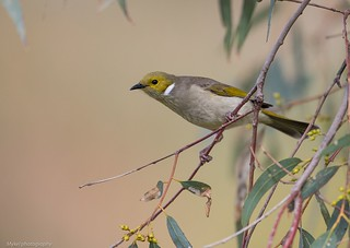 White Plumbed Honey Eater