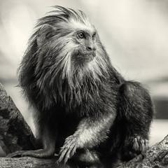 DSC_0142-Edit-1 (craigchaddock) Tags: zoe goldenheadedliontamarin leontopithecuschrysomelas parkeraviary sandiegozoo endangeredspecies newworldmonkey monkey tamarin goldenheadedtamarin